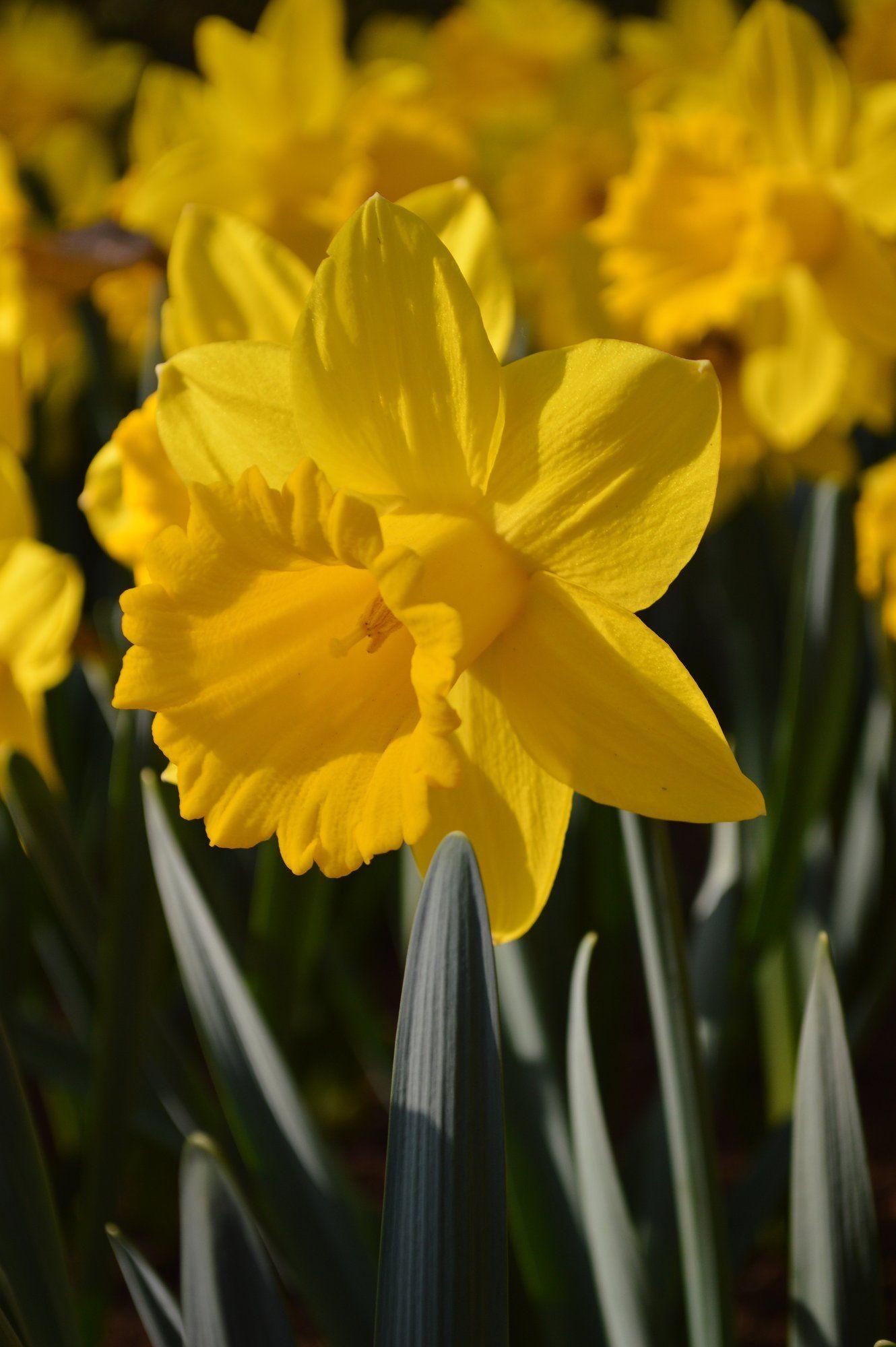 Daffodil Dutch Master Daffodil Bulbs Daffodils Bulb Flowers