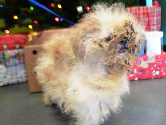 Cheer A1061442 Lhasa Apso Cheer Animal Rescue