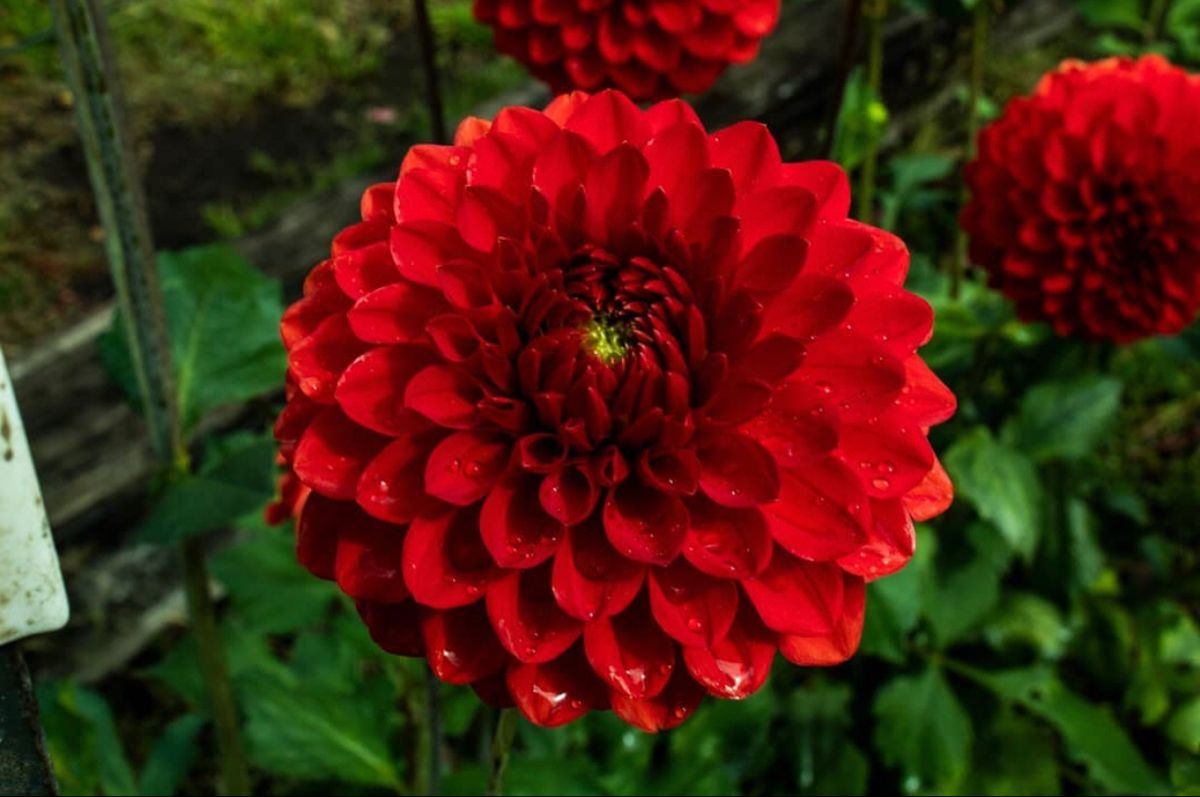 Red Dahlia In 2020 Wholesale Flowers Dahlia Flower Flowers For Sale