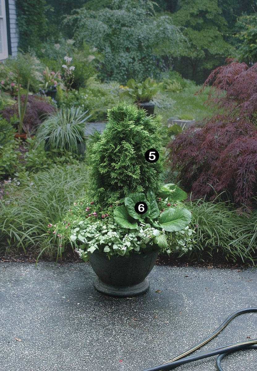 10 Plants For Year Round Containers Finegardening Container Plants Evergreen Container Plants