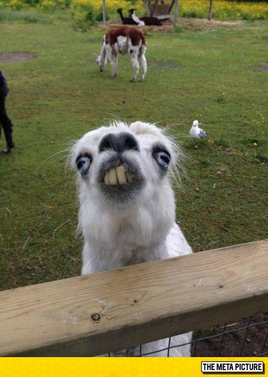 Weird Llama Pictures 1