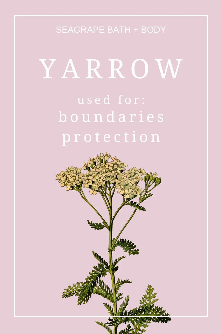 Yarrow A Plant That Grows Anywhere Has Many Wonderful Uses And Benefits Including For Protection And Boundary Setting Yarrow Uses Yarrow Herbs For Protection