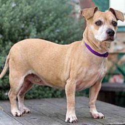 Pacific Grove, CA Dachshund. Meet Zoe aka Rosie a Pet