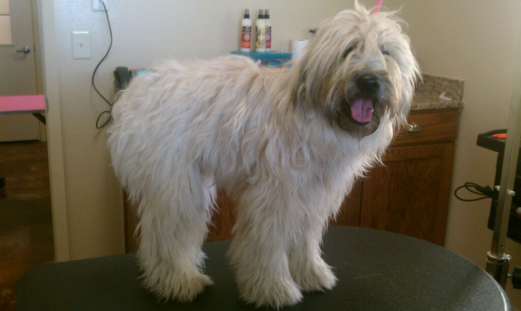 Wheaten Terrier Complete Grooming Time Study Dog Grooming