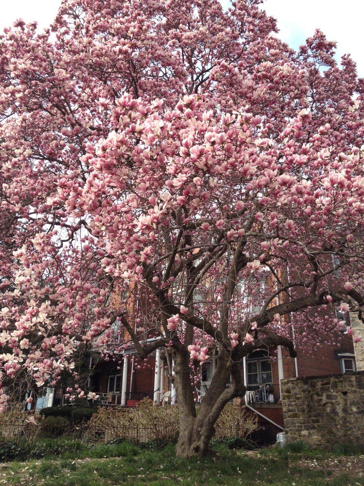 How To Grow Magnolia Tree Doityourself Arbre Fleuri Planter Des Arbres Beaux Jardins