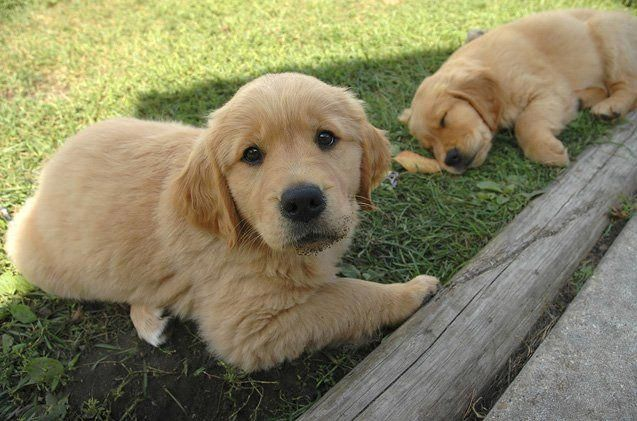 All The Things We Like About The Outgoing Golden Retriever Puppy