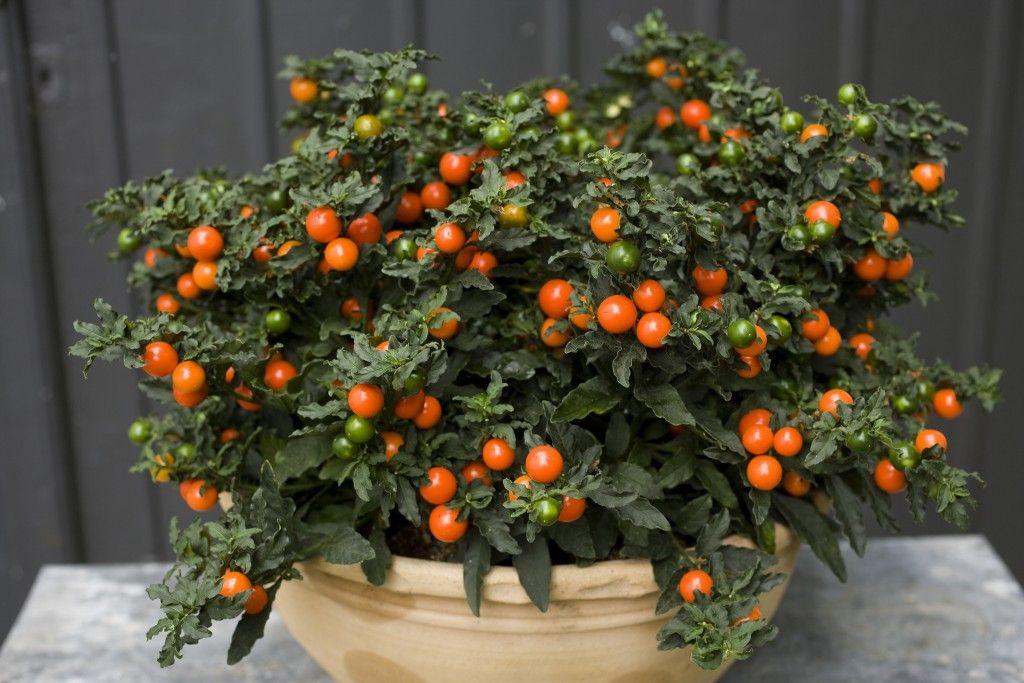 Trujace Owoce Psianka Paprykowa House Plant Care Monochromatic Flowers Cherry Plant