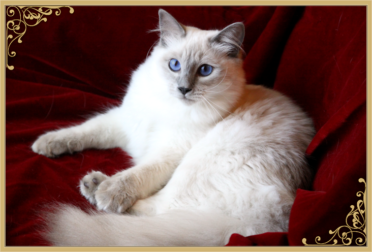 Balinese Cat Breeder & Balinese Cats For Sale by Siamese
