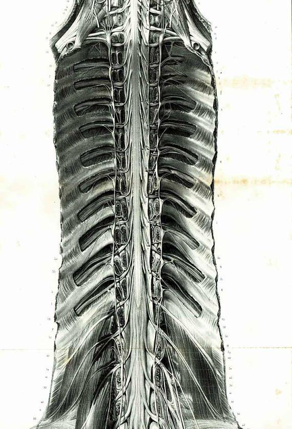 1844 Xl Antique Nervous System Vertebral Column Print Spine Anatomy