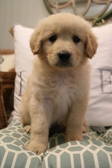 Check Out Sherbert S Profile On Allpaws Com And Help Her Get Adopted Sherbert Is An Adorable Dog That Needs A New Home Golden Retriever Dog Adoption Cute Dogs
