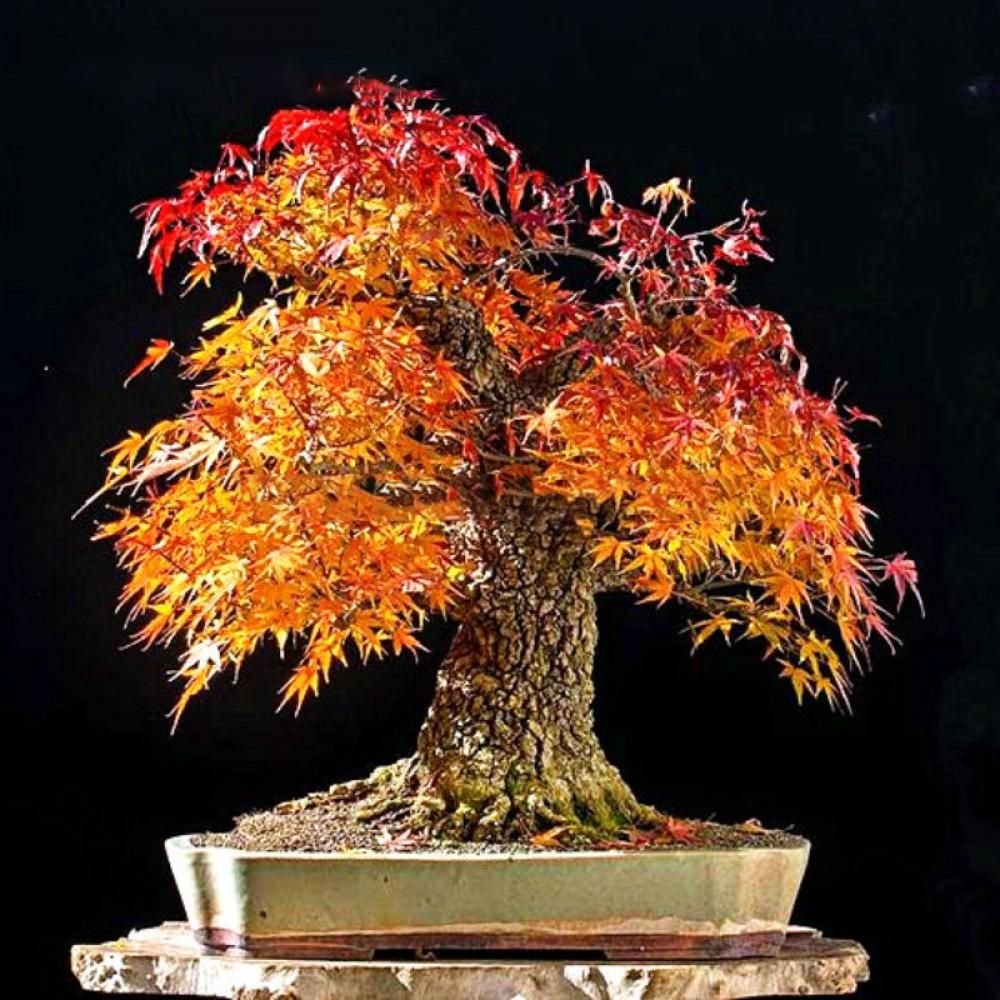 Egrow 20Pcs/Bag Red Maple Seeds Mini Beautiful Japanese Red Maple Bonsai Seeds DIY B