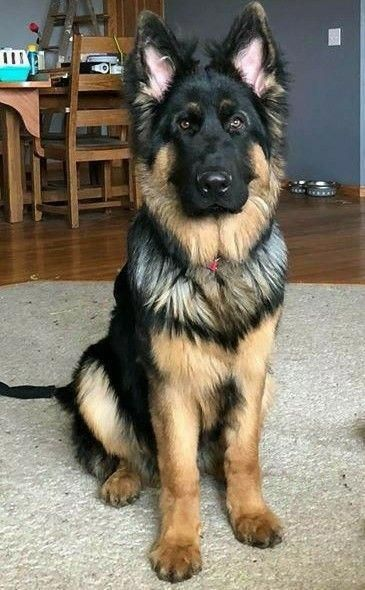 Excellent German Shepherd Dogs X Detail Is Readily Available On