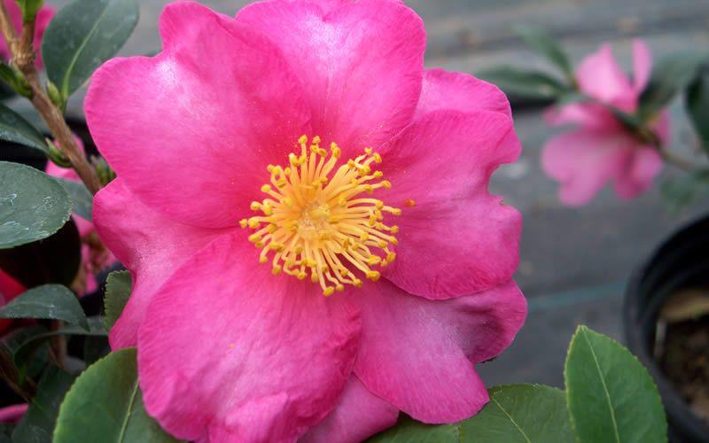 Stephanie Golden Camellia Sasanqua Is A Truly Stunning Sasanqua Variety That Produces A Profuse Abundance Of Gorgeous Semi Double Camellia Flowering Shrubs Evergreen Shrubs