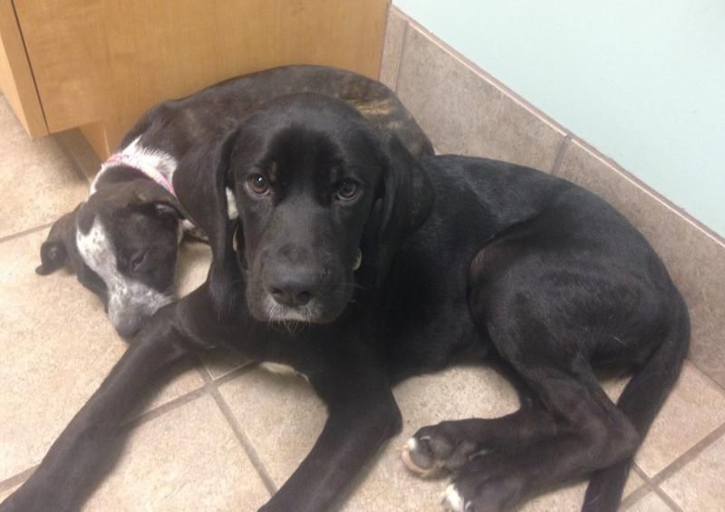 Leah Is An Adoptable Labrador Retriever Searching For A Forever Family Near Greensboro Nc Use Petfinder To Find Labrador Retriever Black Labrador I Like Dogs
