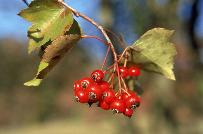6 Trees That Are Easier To Identify In Fall Hawthorn Tree Tree Identification Red Berries