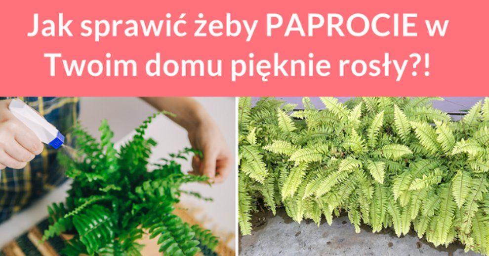 Jak Sprawic Zeby Paprocie W Twoim Domu Pieknie Rosly Herbs