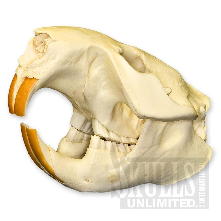 $69 American Beaver Skull (Natural Bone Quality A) | Animal Anatomy ...