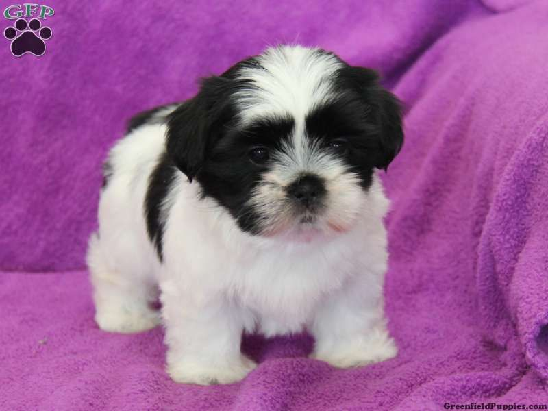 Ashley Shichon Puppy For Sale From Ephrata Pa Greenfield