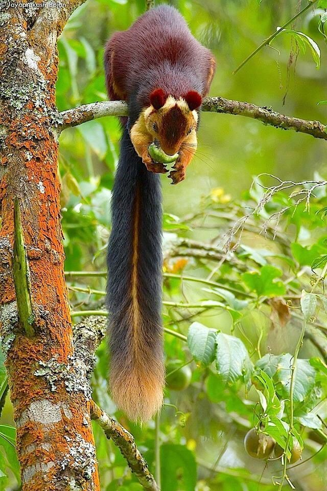 Indian Giant Squirrel (Ratufa indica) (With images