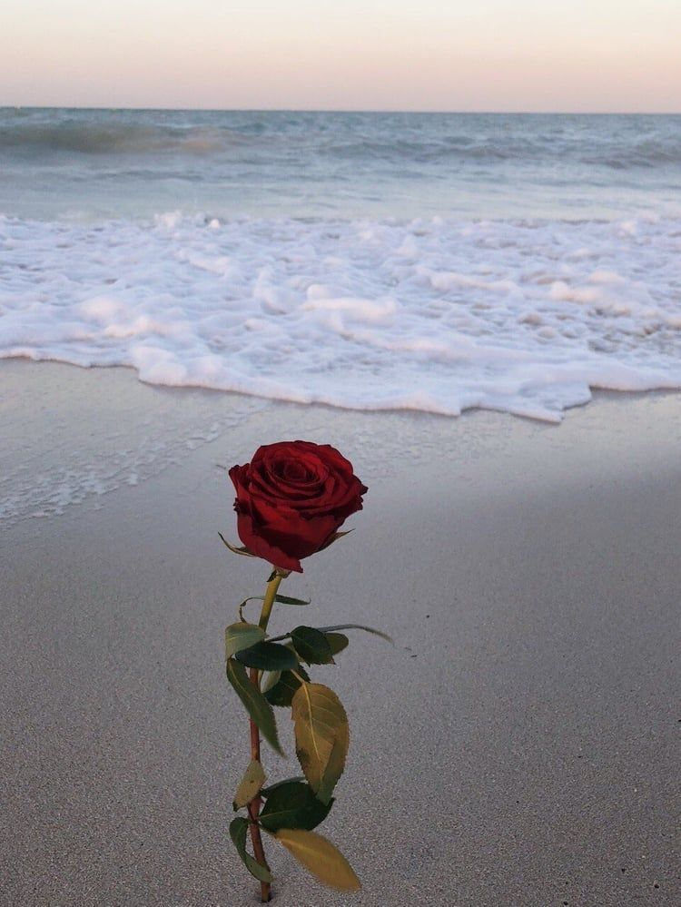 Tumblr Rose Flowers Beach Sea Landscape Roses Https