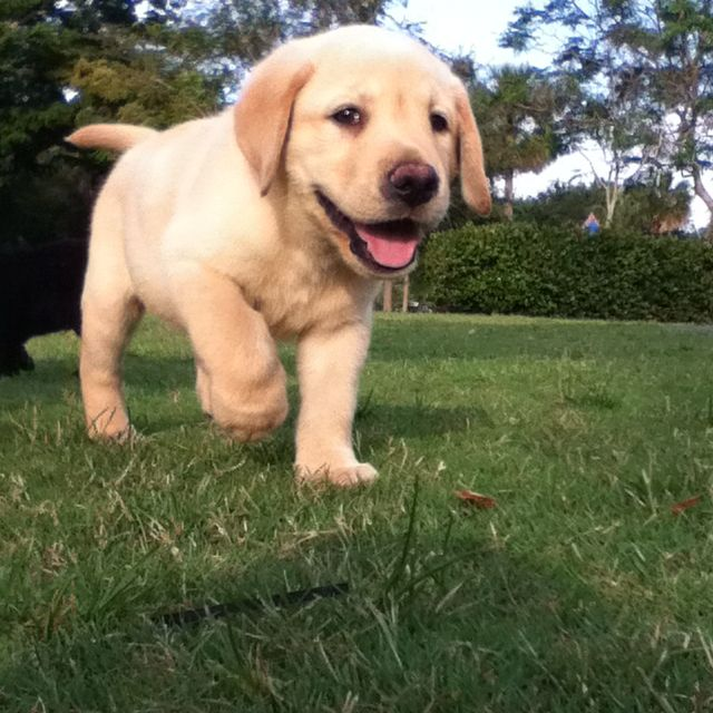 Pure Breed Lab Puppies 7 Weeks Old And Need A Home For Sale 3