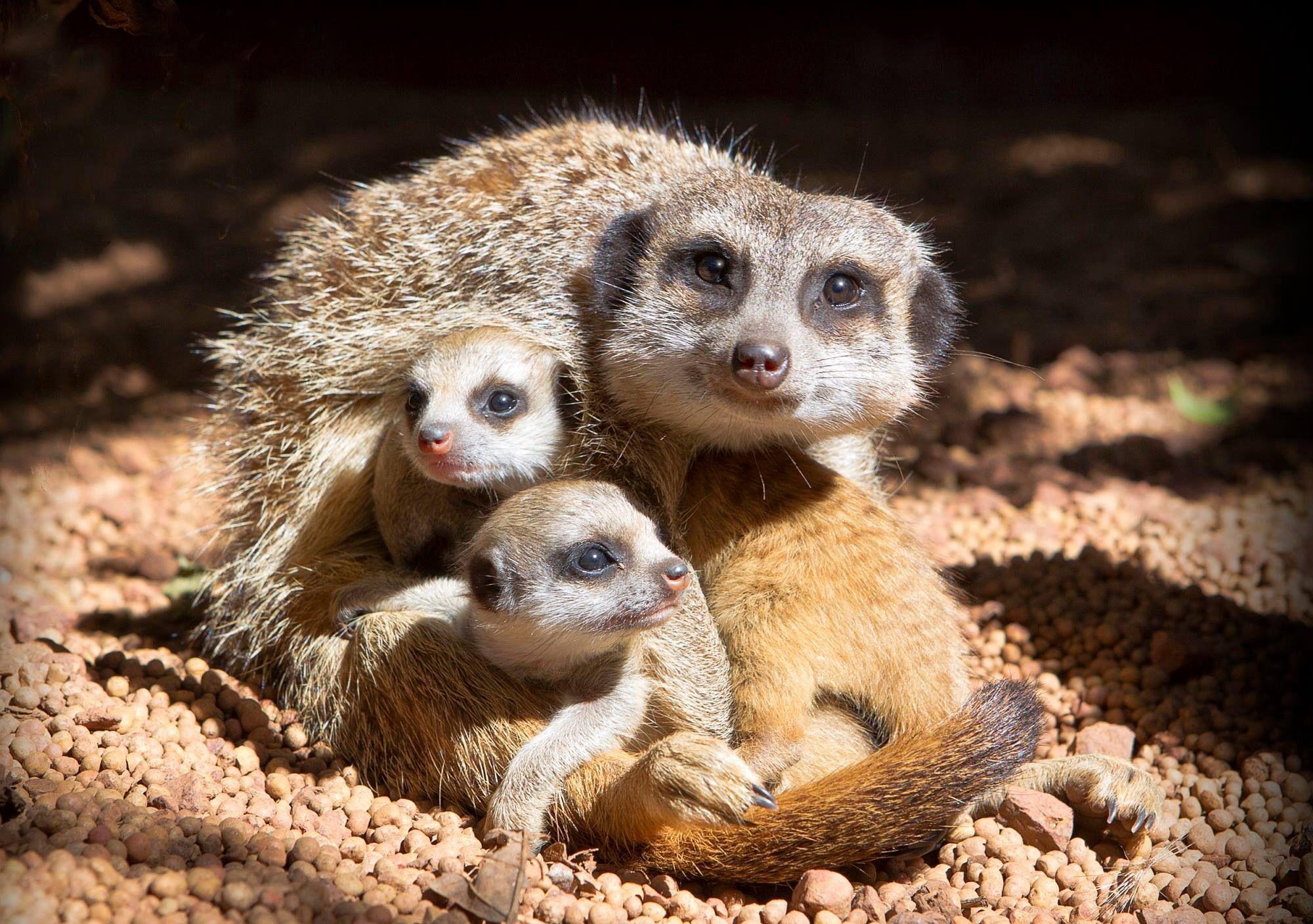 Meercat love (With images) Zooborns, Meerkat, Zoo babies
