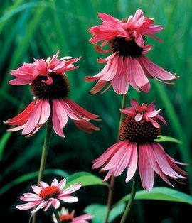 """Echinacea Double Decker, 40"""", summer to fall,"""