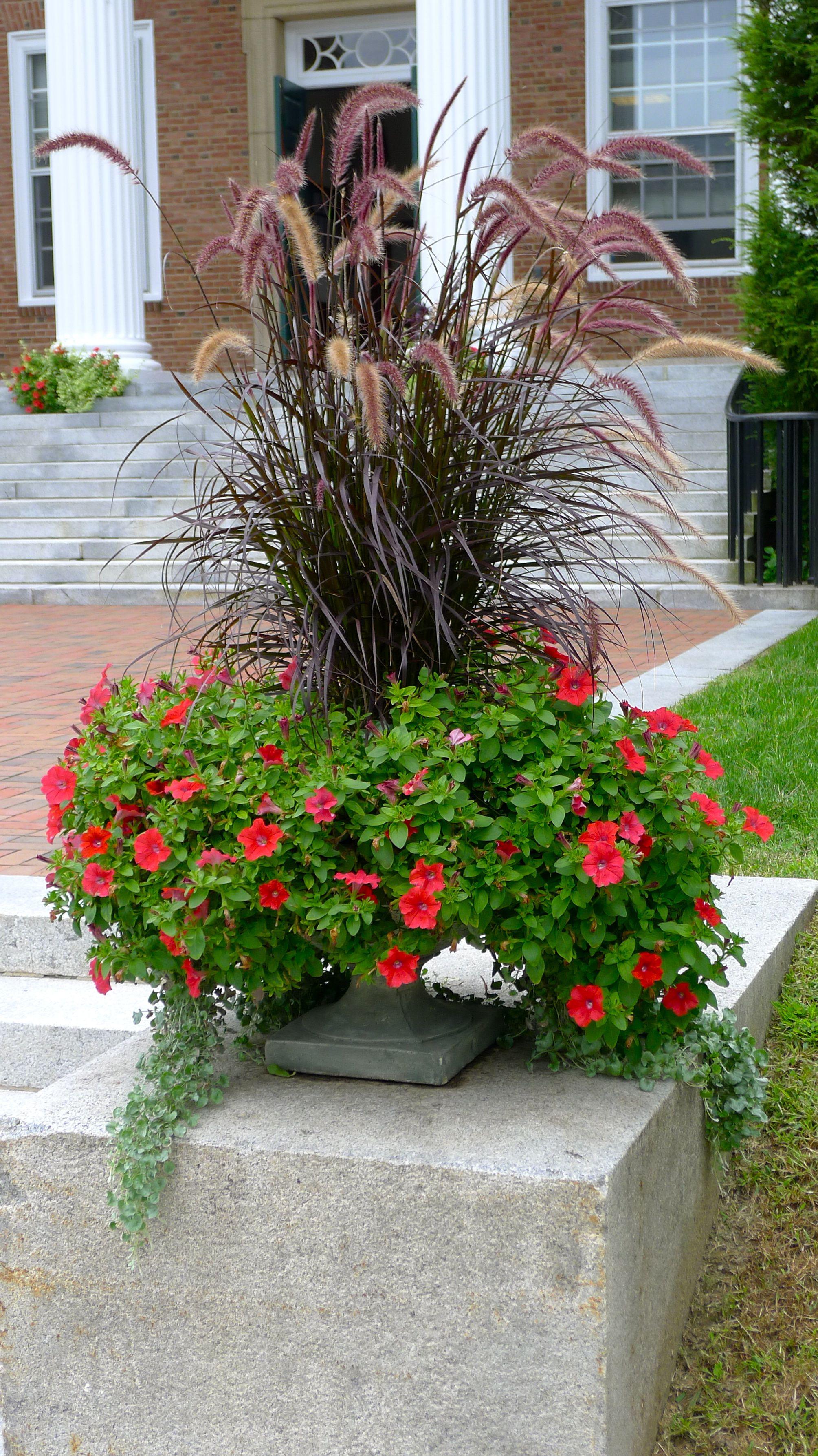 Container Design: Pennisetum Rubrum (ornamental grass ...
