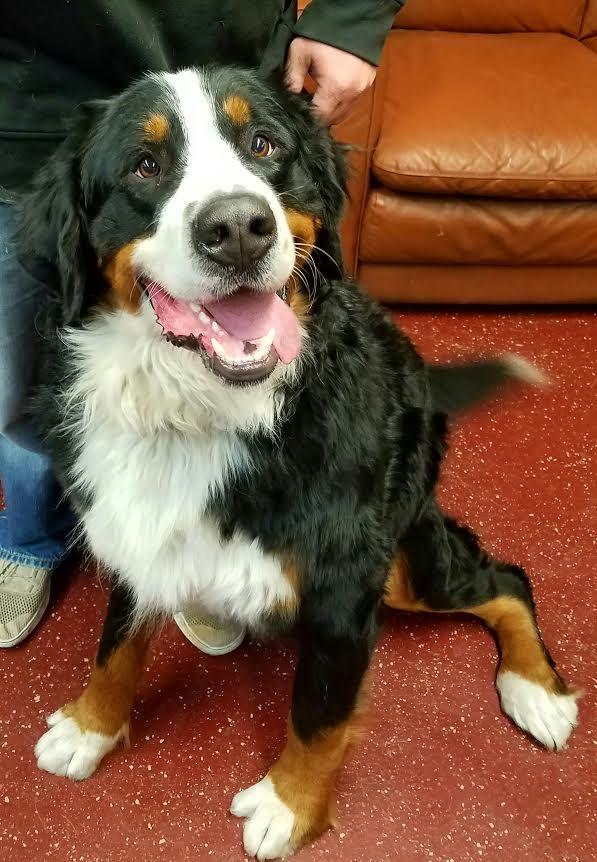 Bernese Mountain Dog Dog For Adoption In Fargo Nd Adn 420462 On