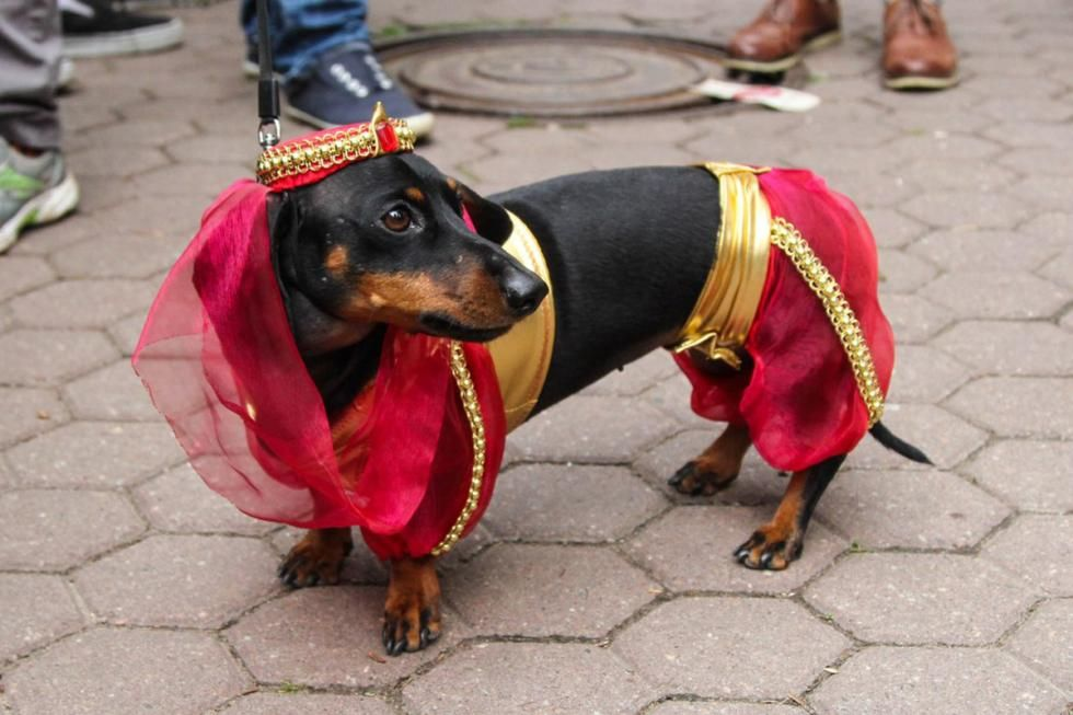 Another I Dream Of Weenie Dachshund Costume Funny Dachshund
