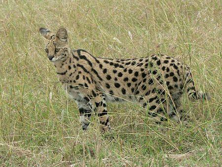 wonderful serval cat