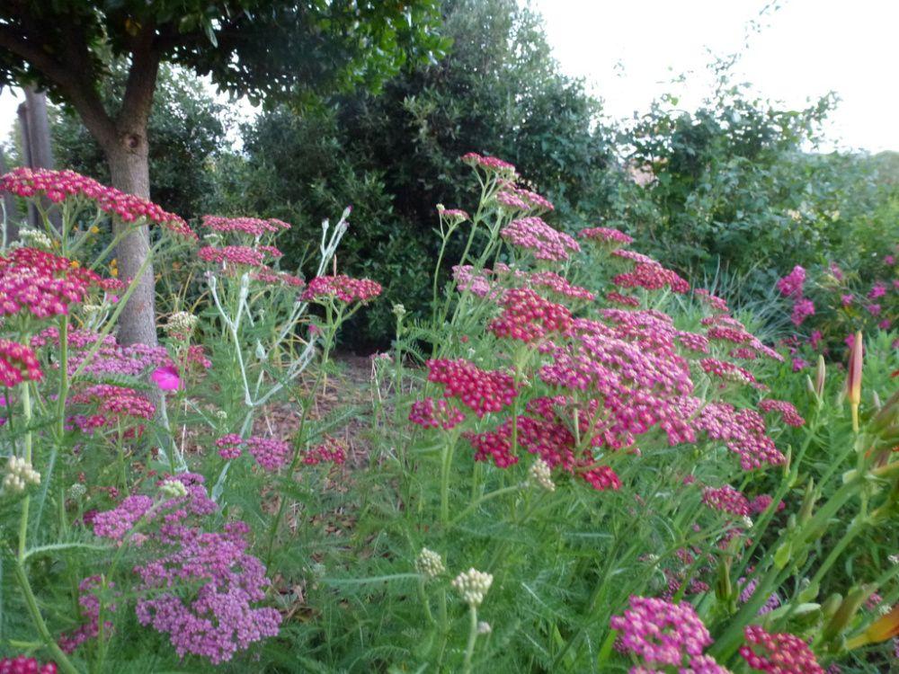 Flowering In The Magenta Border Today 20th June Plants Achillea