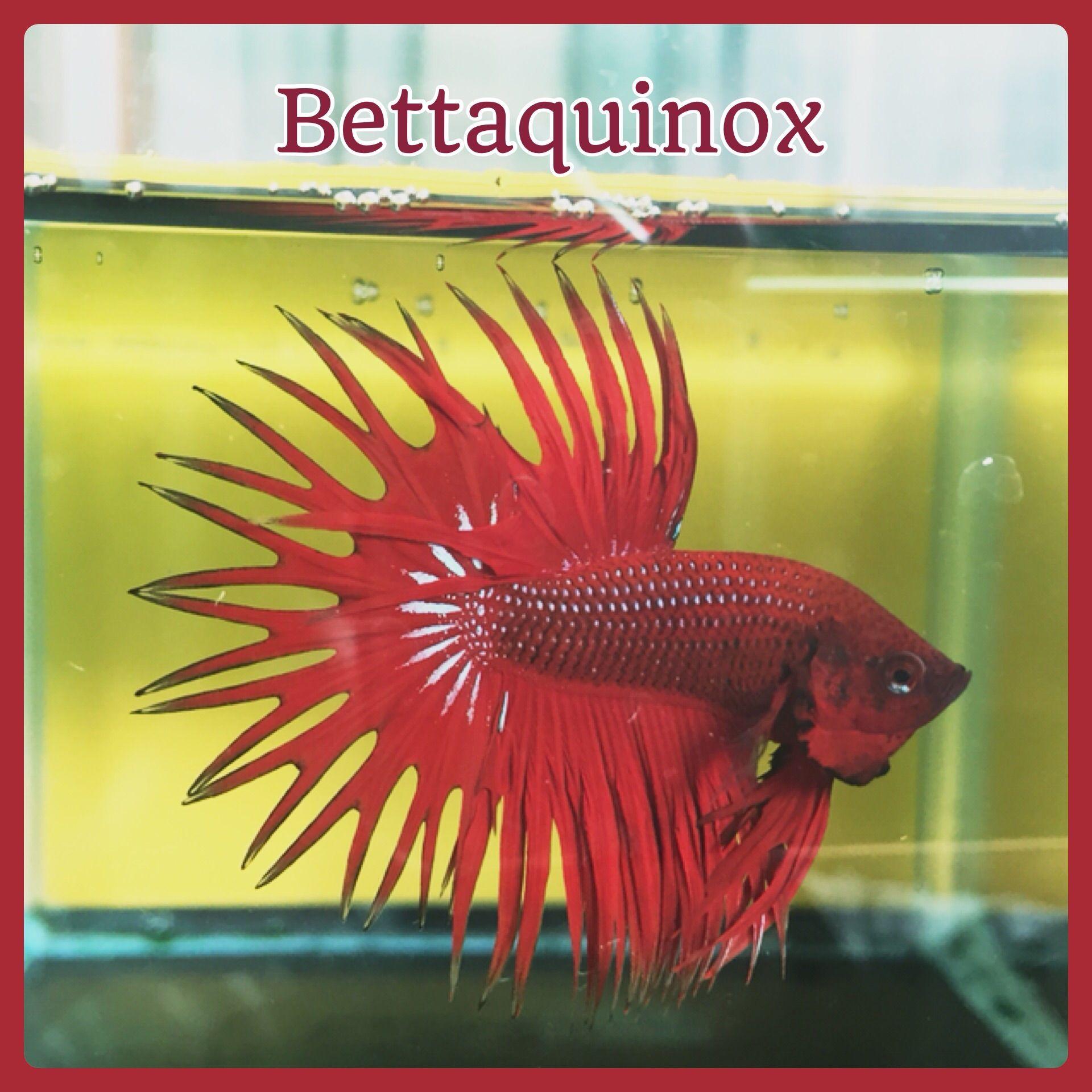 Fwbettasct1432233606 bettaquinox collection show for Show betta fish