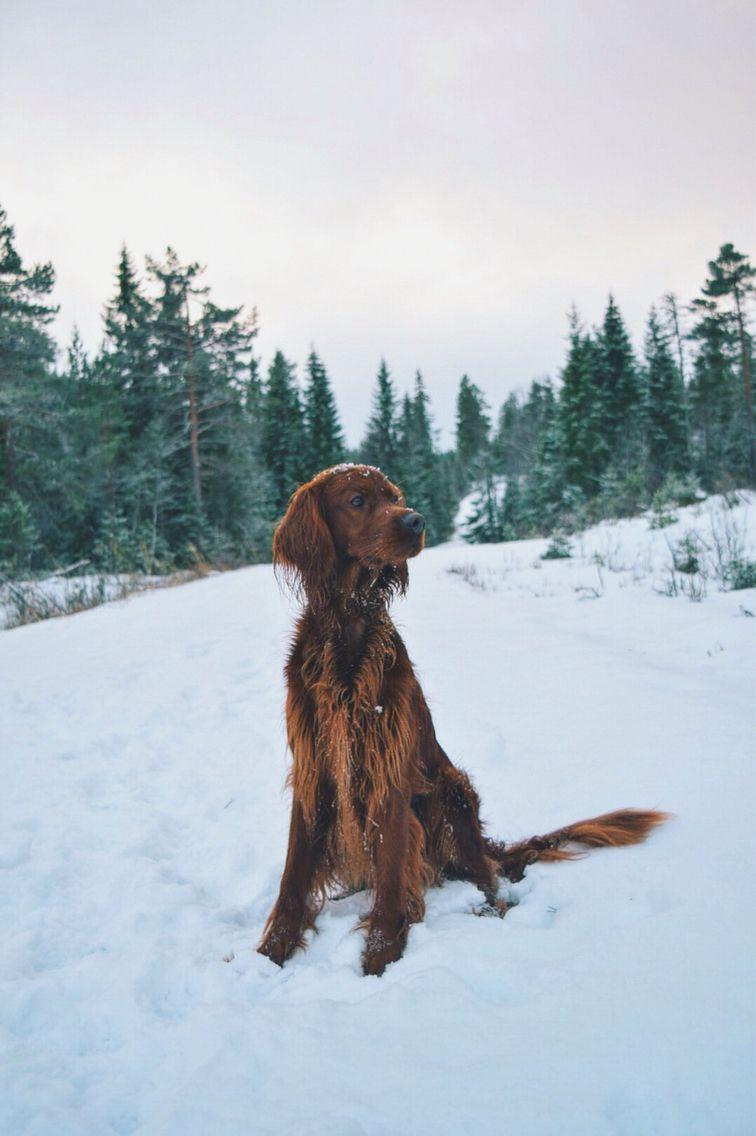 Seeking Irish setter, Snow dogs, Hunting dogs