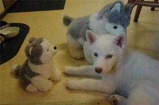 TINY TEACUP POMERANIAN PUPPIES AVAILABLE ASLAN For sale Ashland Pets Dogs