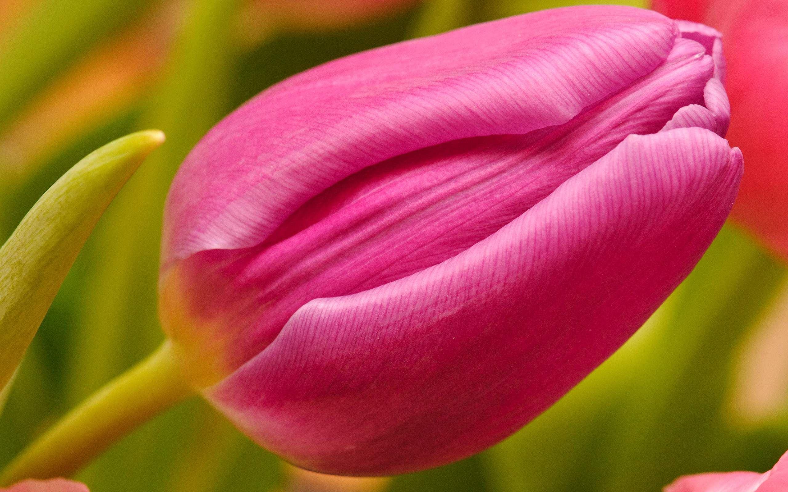 Beautiful tulip flowers pictures and wallpapers18 tulipanes beautiful tulip flowers pictures and wallpapers18 izmirmasajfo