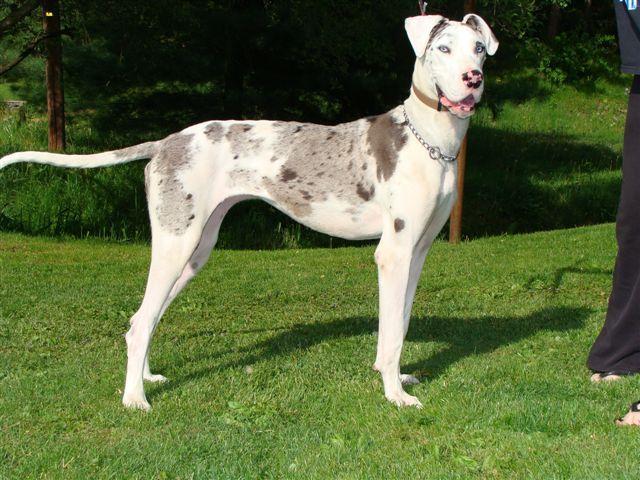 Kellie A Deaf Great Dane Great Dane Rescue Dogs Big Dogs