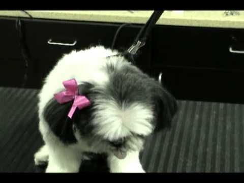 A Short Clip Showing You How To Place A Bow And Not Having It Come Out For More Quick Tips Visit Http Www Melissa Dog Hair Bows Dog Bows Diy Dog Grooming