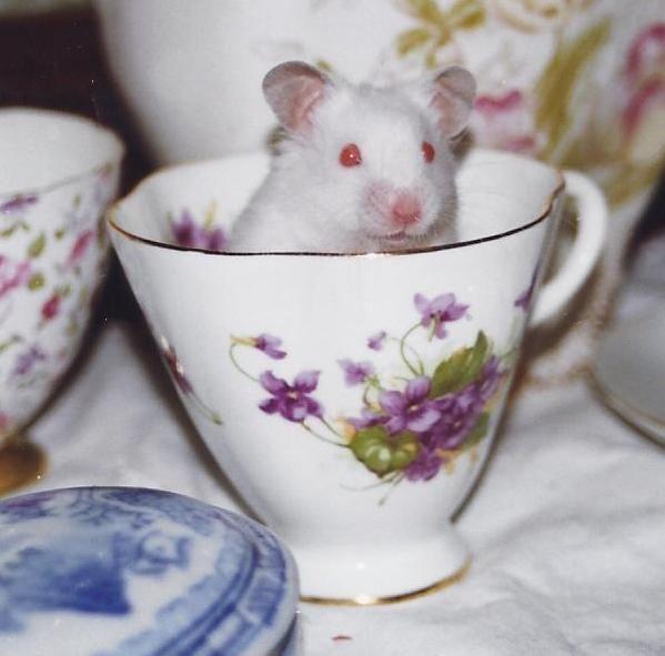 "pet hamster ""peewee"" in a tea cup"