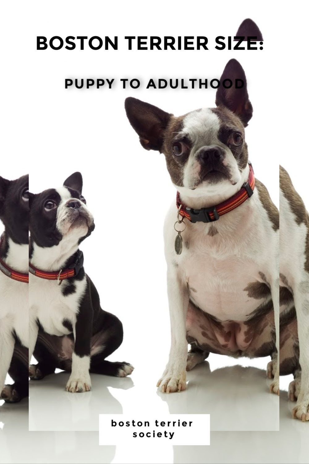 A Boston S First Year Stages Of Growth Puppy Development Boston Terrier Society In 2020 Boston Terrier Terrier Puppy Development