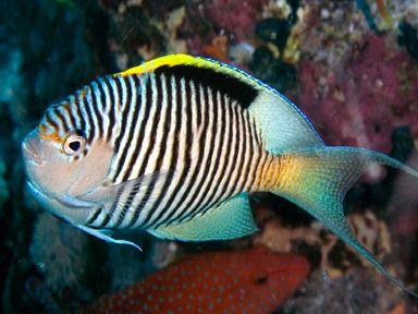 Zebra Angelfish Genicanthus Caudovittatus Male East Africa Saltwater Fish Tanks Pet Fish Best Aquarium Fish