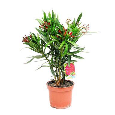 Oleander Mix 40 50 Cm Kwiaty Balkonowe I Ogrodowe W Atrakcyjnej Cenie W Sklepach Leroy Merlin Plants Planter Pots Planters