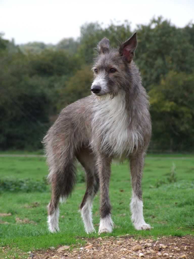 Bearded Collie Bred Lurchers Collie Breeds Rare Dogs Dog Breeds