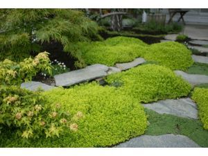 Need some yellow-green plantings, like this lime thyme