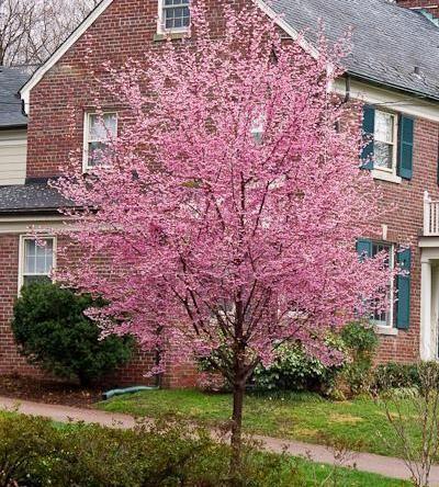 Prunustaihakuoutline Jpg 653 490 Pixels White Flowering Trees Spring Flowering Trees Prunus