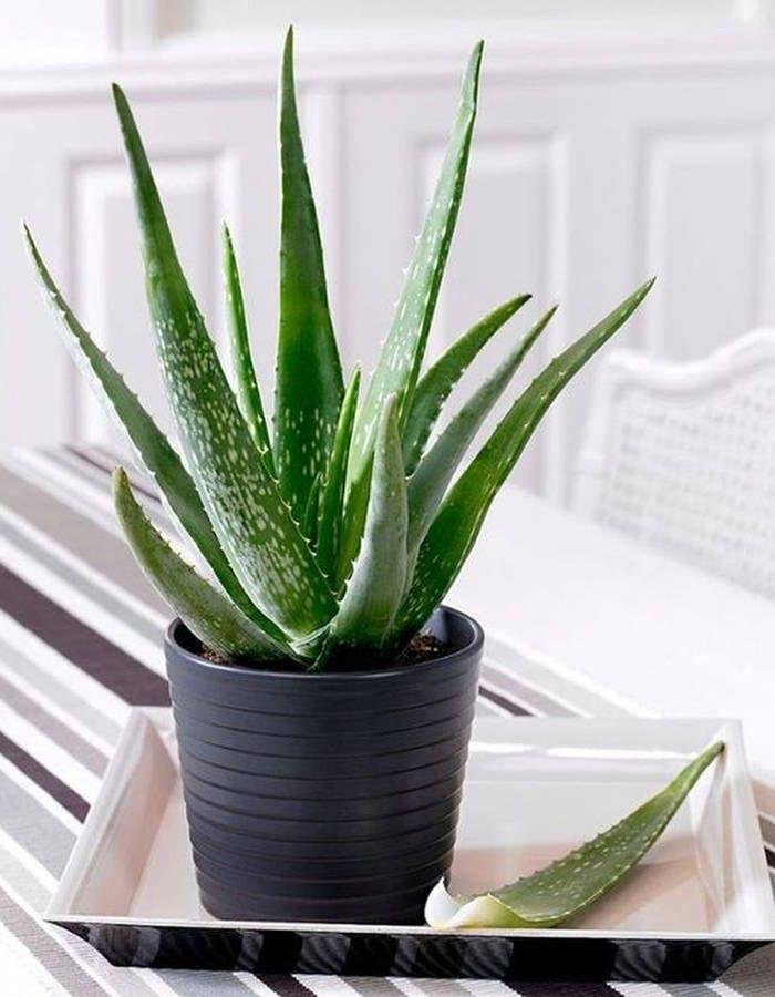 Plante d'hiver : nos 12 plantes préférées - Elle Décoration   Plante hiver, Aloé vera plante et ...
