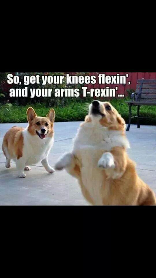 Corgis workout!