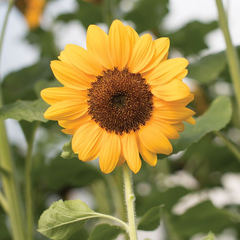 Vincent S Choice F1 Sunflower Seed Johnny S Selected Seeds Organic Plants Sunflower Seeds Plants