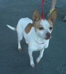 Adopt Mister On French Bulldog French Bulldog Puppy Black Chihuahua Mix