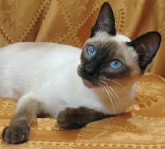 Pin By Michele West On Siamese Katten In 2020 Siamese Kittens Cattery Siamese